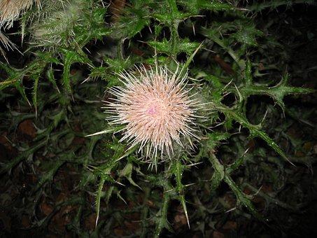 Thistle, Flower, Blossom, Wild, Flowering
