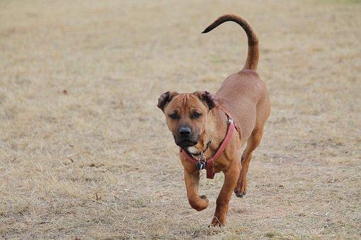 Dog, Tan, Run, Dog Park, Ears, Curious, Pet, Animal