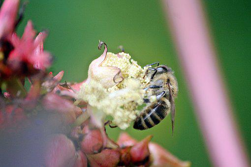 Bee, Animals, Insect, Close, Pollination, Honey