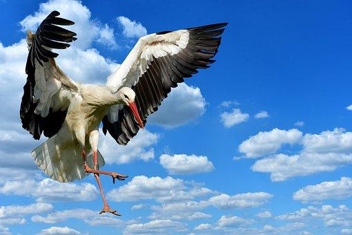 Stork, Flying, Landing, Elegant, Feather, Bird, Plumage