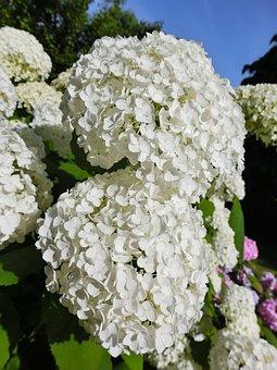 Snow Ball, Blossom, Bloom, White, Bush, Plant, Spring