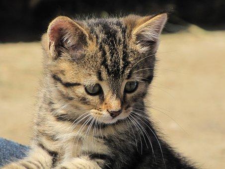 Cat, Mackerel, Boy, Kitten, Tiger Cat, Domestic Cat
