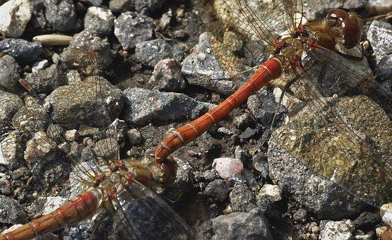 Common Darter, Dragonfly, Odonata, Wild, Nature, Male