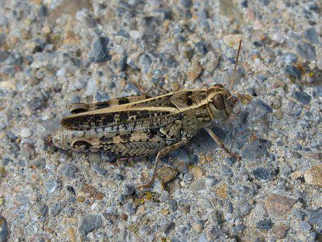 Grasshopper, Lobster, Detail, Pyrenees, Insect