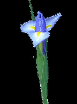 Dutch Iris, Bud, Flower