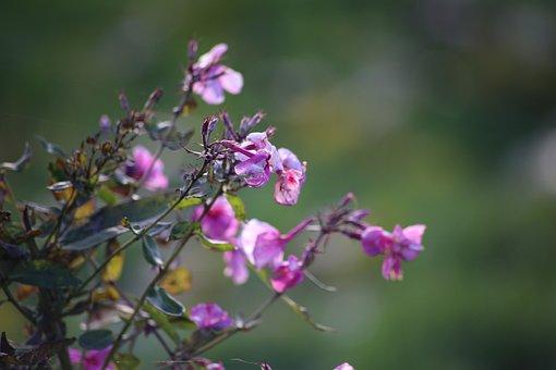Flowers, Phlox, Nature, Garden Flower, Floksa Buds