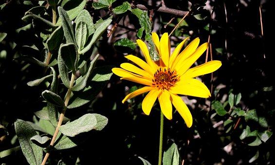 Sage, Garden, Flowers, Yellow