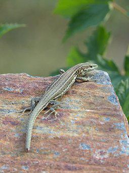 Lizard Iberian, Lizard, Sargantana, Reptile, Slate