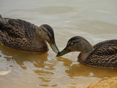 Ducks, Animals, Feathers, Beaks, Pond, Mare, Water