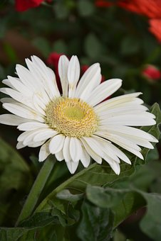 Flower, Marguerite, Petals, Garden, Nature