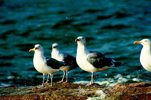 Gulls, Ocean, Waves, Sea, Nature, Animal, Bird, Seagull