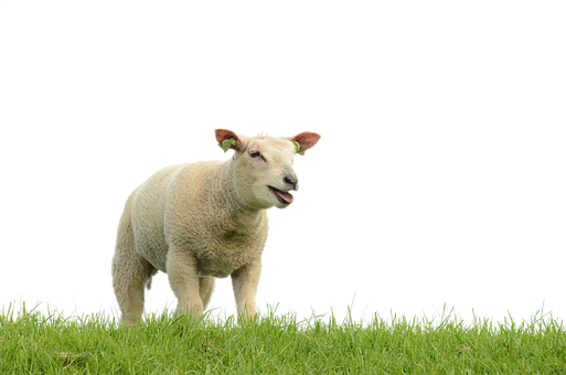 Sheep, Meadow, Isolated, Lamb, Wool, Pasture, Animal