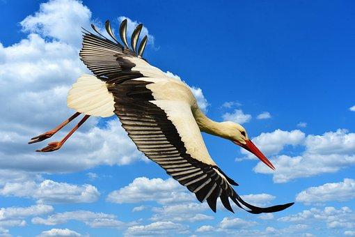 Stork, Fly, Landing, Elegant, Feather, Bird, Plumage