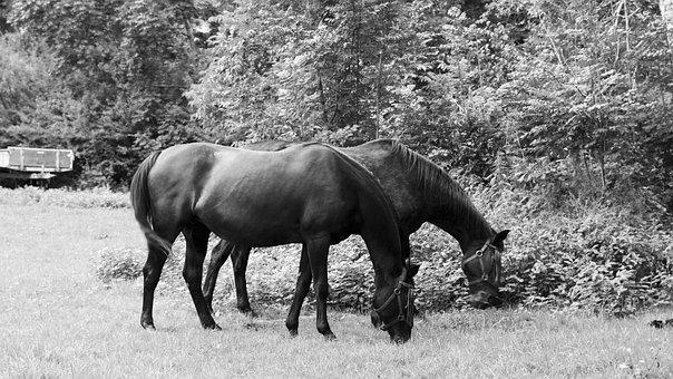 Horse, Eat, Graze, Thoroughbred Arabian, Stallion
