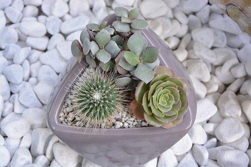 Cactus, Pot, Cacti, Succulent, Garden, Nature