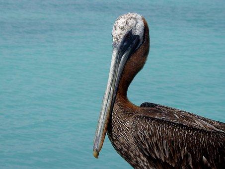 Fauna, Pelican, Peak, Animal, Feathers, Wings, Sea Bird