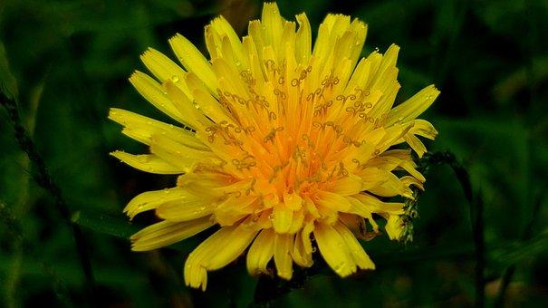 Dandelion, Common Dandelion, Yellow Dandelion