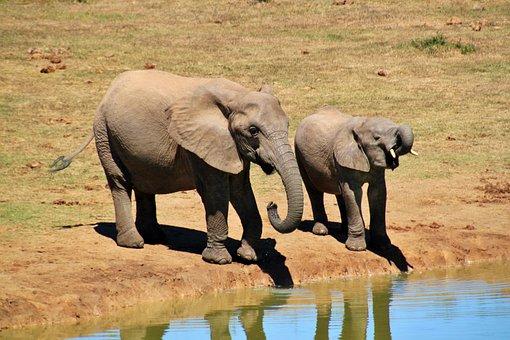 African Bush Elephant, Elephant, Animals, Africa