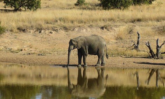 Elephant, Animal, Wild, Africa, Wildlife, Mammal