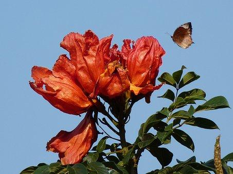 Tulip Tree, African Tulpenbaum, Butterfly, Animal