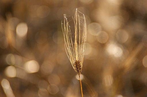 Cereals, Field, Nature, Agriculture, Harvest, Grain