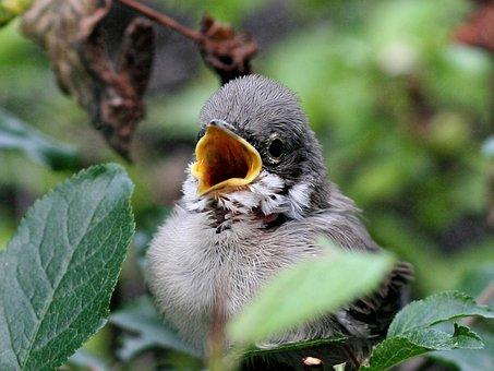 The Sparrow, Wróbelek, Bird, Chick, Animal, Branches