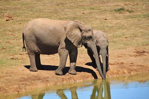 Elephant, African Bush Elephant, Animals, Africa