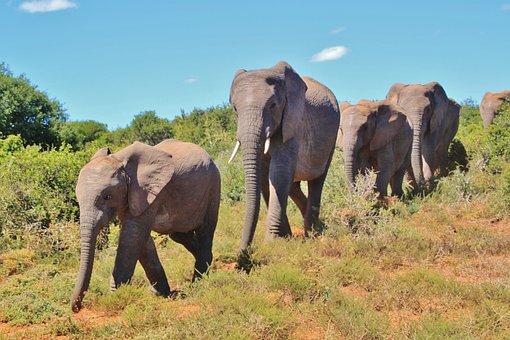 African Bush Elephant, Flock, Elephant, Animals, Africa