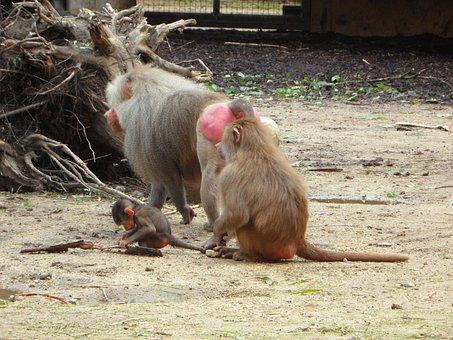 Ape, Baboons, Family, Monkey Family, Monkey, Zoo