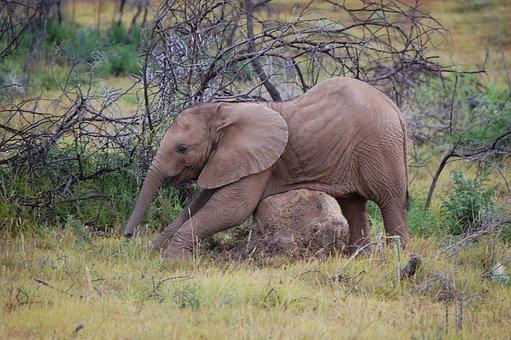 Baby Elephant, Wildlife Reserve, Elephant South Africa