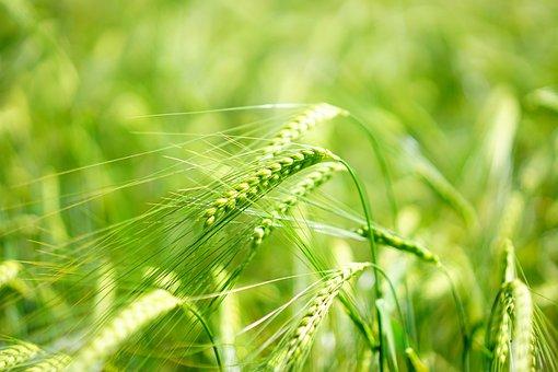 Barley, Young Crop, Green, Barley Field, Cereals, Grain
