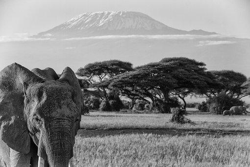 Kilimanjaro, Africa, African Bush Elephant, Big Five