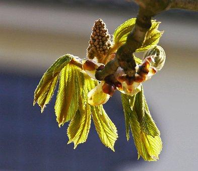 Chestnut, Foliation, Leaves, Blossom, Bloom, Spring