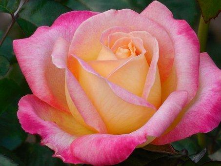Flower, Rose, Floral, White, Romantic, Blossom, Love