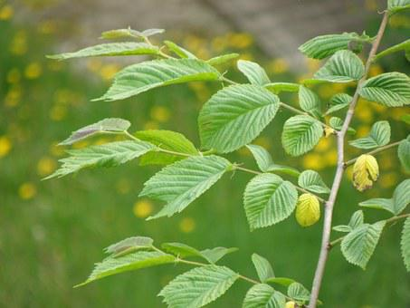 Leaves, Hornbeam, Young, Branch, Green, Tree, Foliage