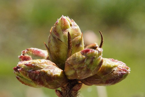Bud, Azalea, Firm, Spring, Young Drove, Branch, Plant