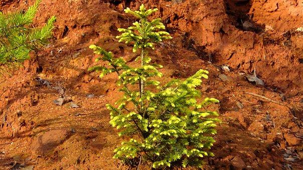 Fir Tree, Young Fir, Branches, Green, Needles