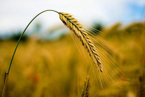 Rye, Cereals, Wheat, Nature, Grain, Field, Ear