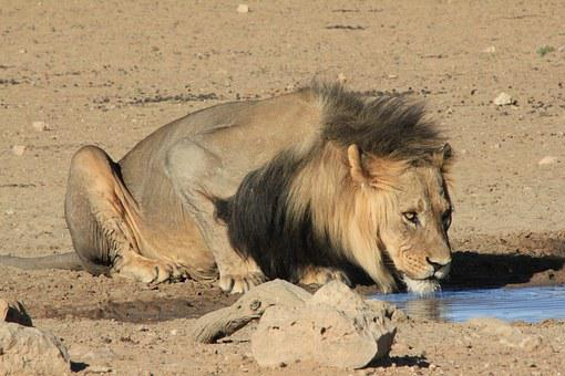 Lion, Drinking, Waterhole, Safari, Water, Africa