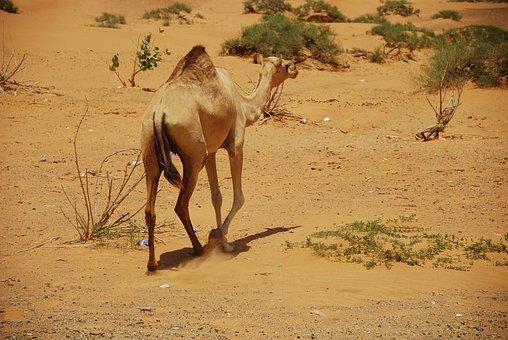 Camels, U A E, Dubai, Ras Al Khaimah, Holiday, Desert