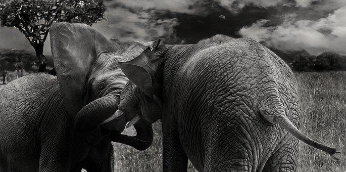 Elephant, Mammals, Wild, Animals, Proboscis, Africa