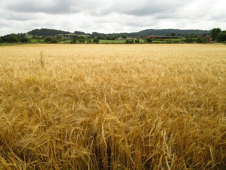 Field, Crop, Agriculture, Landscape, Farming