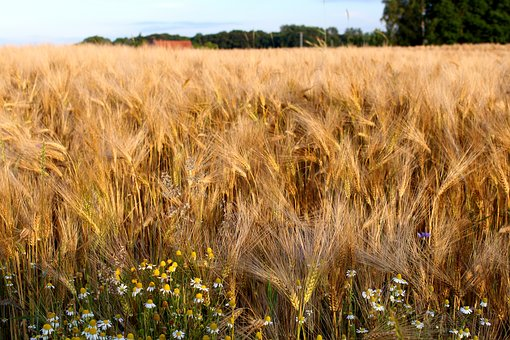 Rye, Cereals, Nature, Grain, Ear, Field, Plant