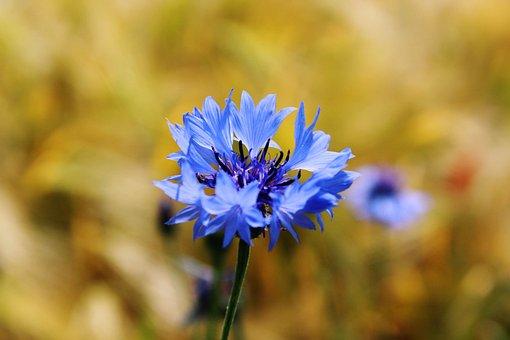 Cornflower, Centaurea Cyanus, Zyane, Knapweed, Field