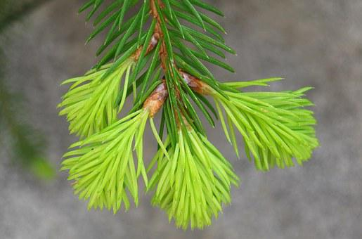 Fir Drove, Spring, Fir Grows, Growth, Green, Mini Fir