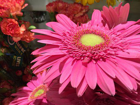 Gerber Daisy, Daisy, Flower, Gerber, Pink, Blossom