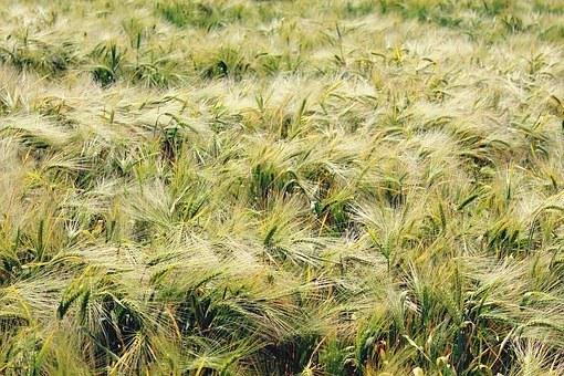 Gersten, Barley Field, Cereals, Grain, Food, Field