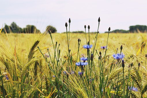 Barley, Barley Field, Cereals, Grain, Food, Field