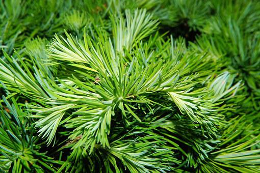 Pine, Needles, Tree, Green, Pine Needles, Branch