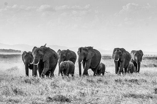 African Bush Elephant, Elephant, Herd Of Elephants